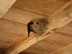 米の種まき-ツバメの巣.JPG